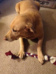 Daisy plays with her new tug toy